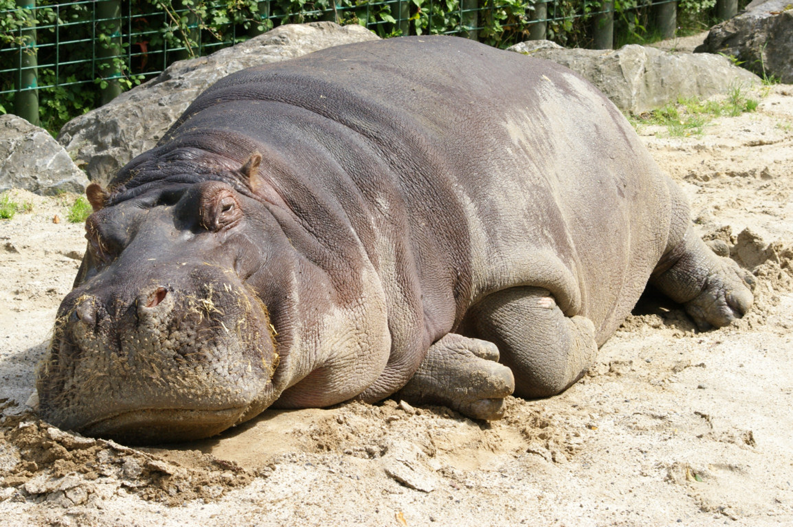 animal hippo wallpaper 1600x1200 - photo #33
