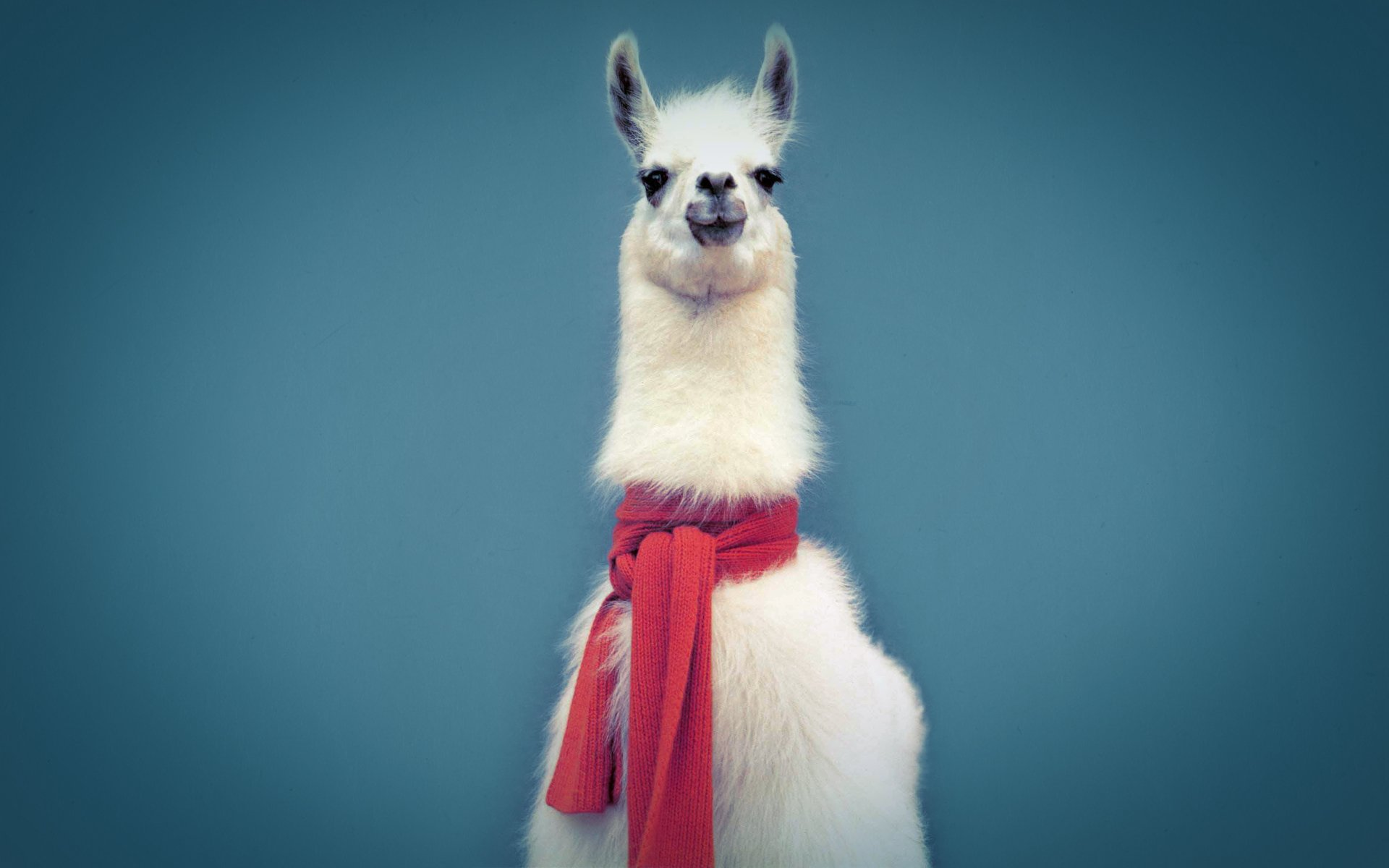 Llama HD Wallpapers Background Images Wallpaper