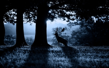 Animal - Deer Wallpapers and Backgrounds ID : 393535