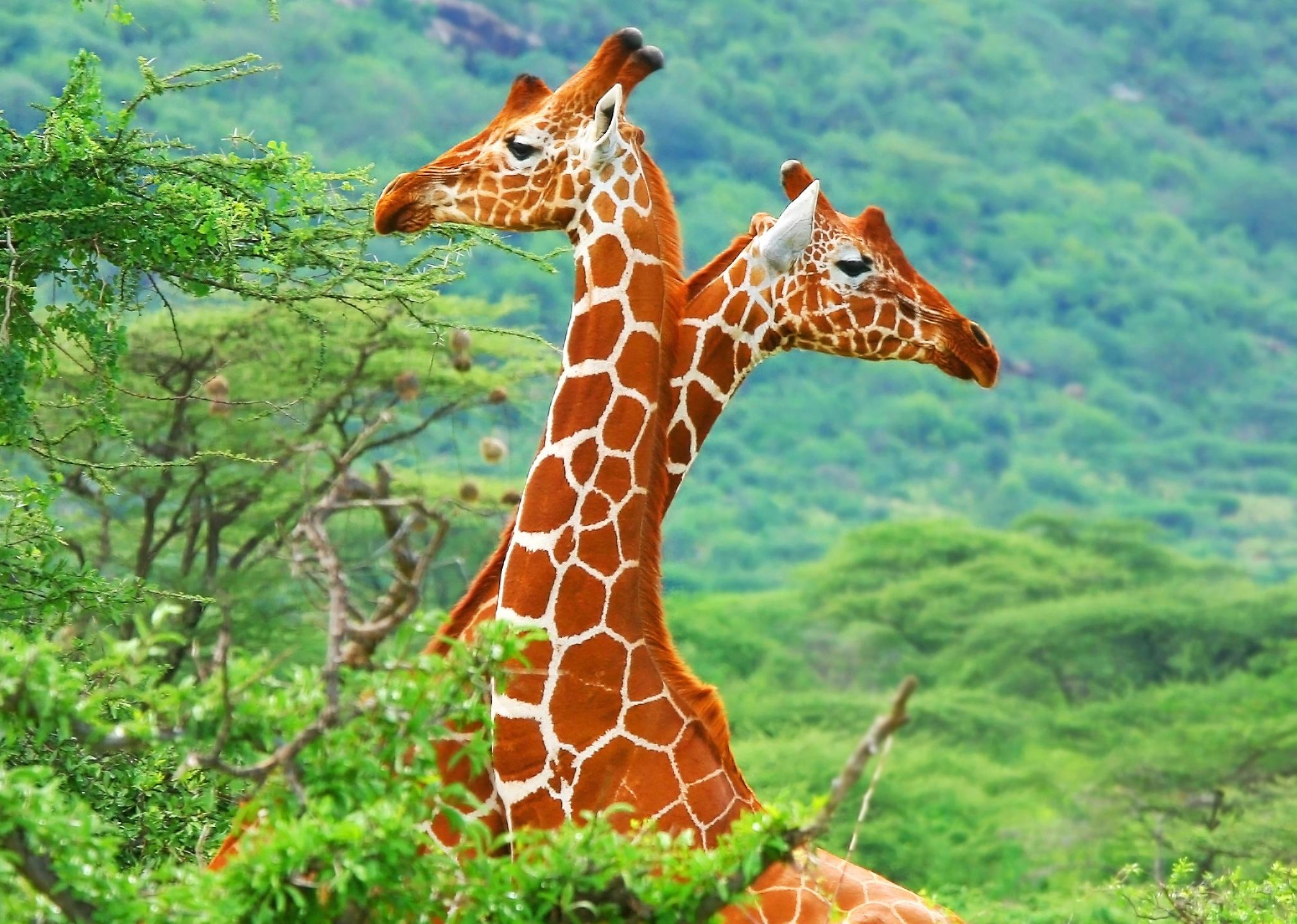 Most Inspiring Wallpaper Colorful Giraffe - 394594  Pic_339962 .jpg
