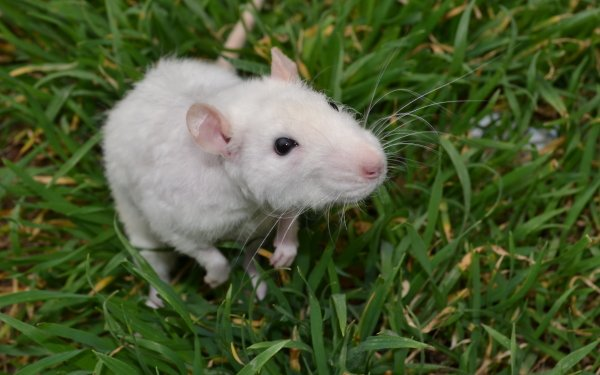 Animal Mouse HD Wallpaper   Background Image