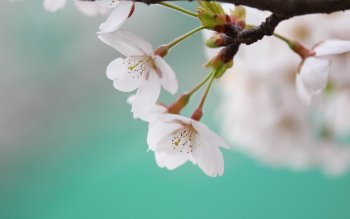 Earth - Blossom Wallpapers and Backgrounds ID : 395110