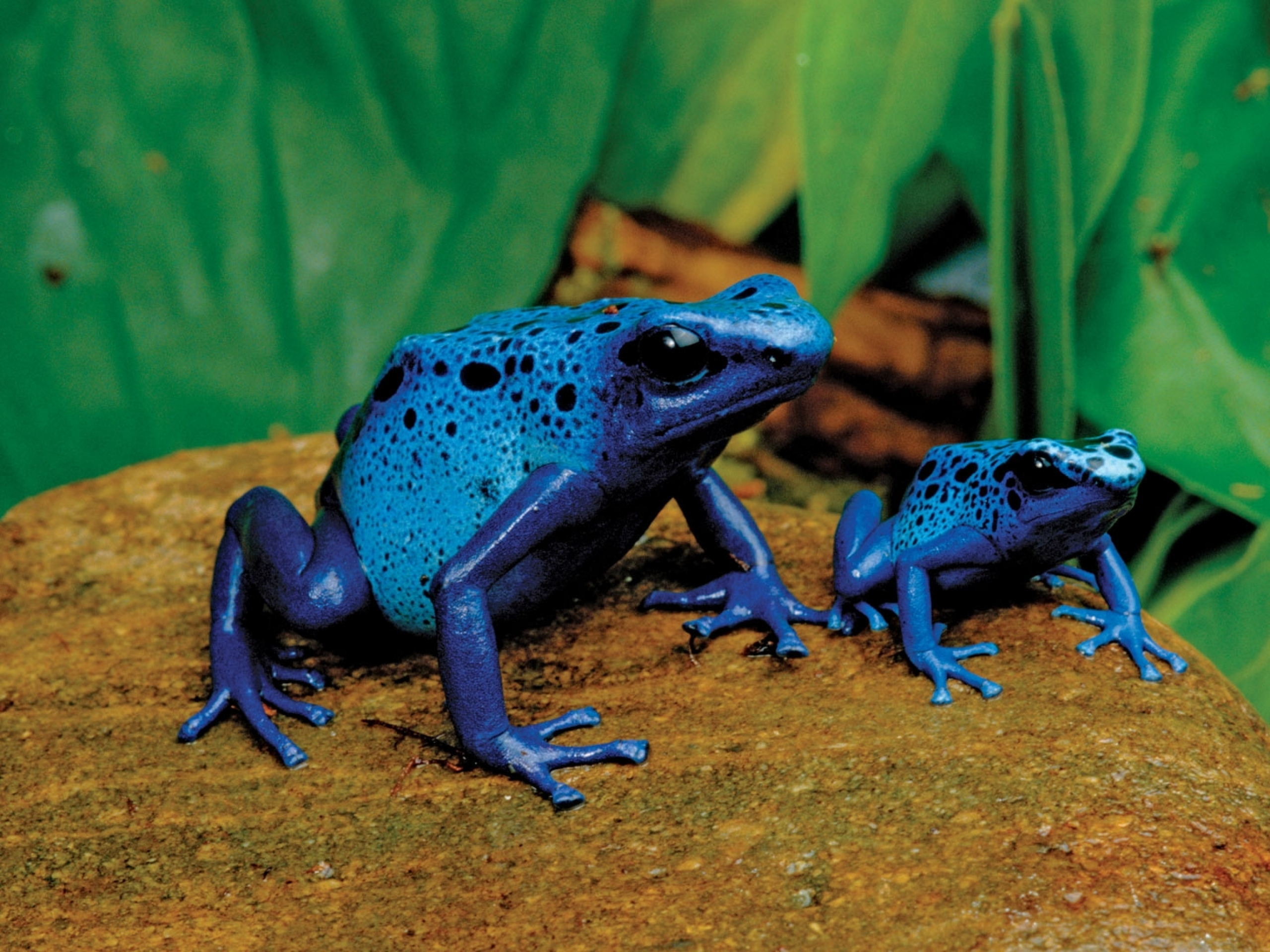Poison dart frog Full HD Wallpaper and Background ...