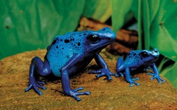 Animal - Blue Poison Dart Frog Wallpapers and Backgrounds ID : 396895