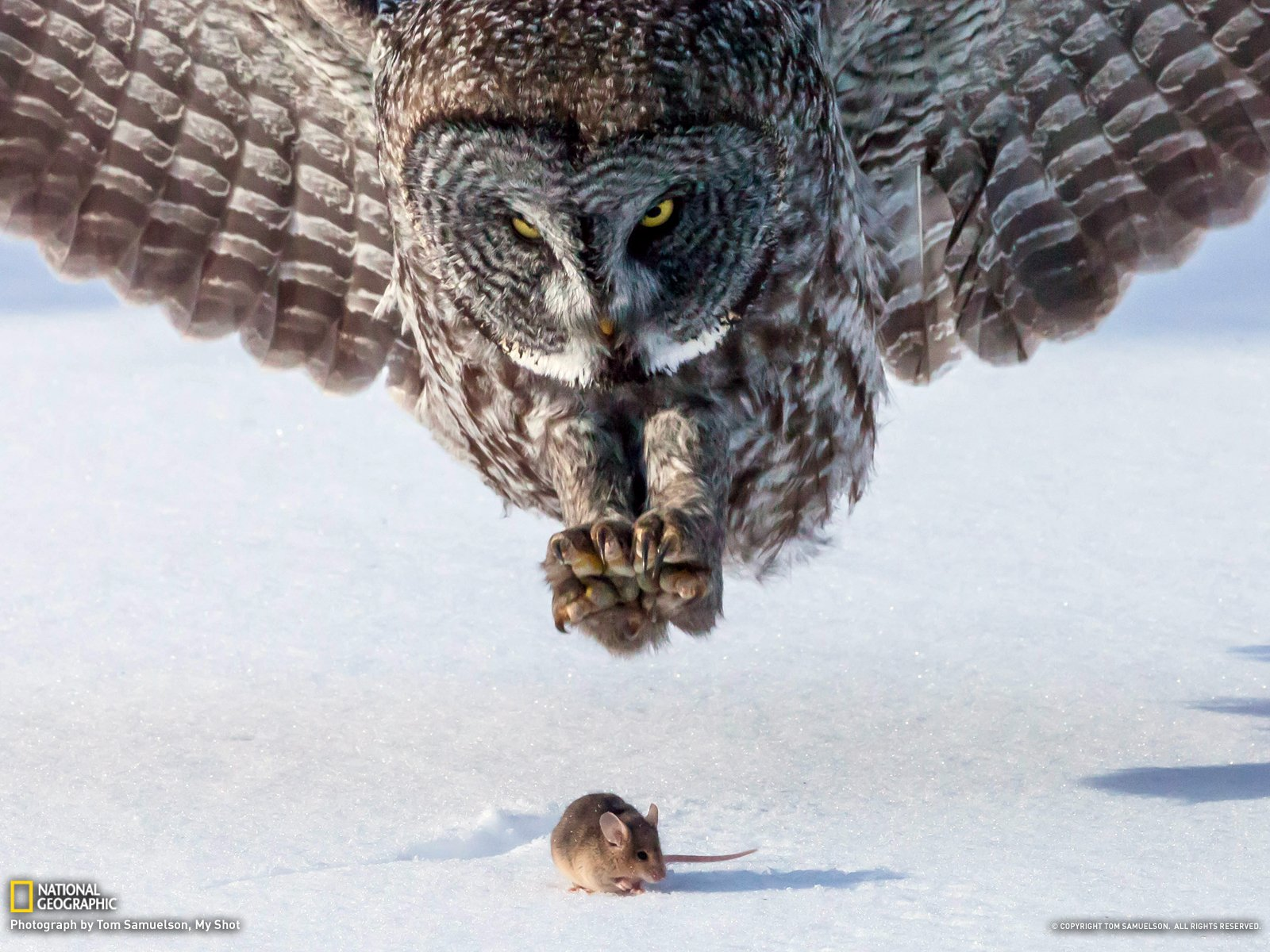 Great Grey Owl Wallpaper And Background Image 1600x1200
