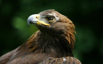 Animal - Eagle Wallpapers and Backgrounds ID : 399611