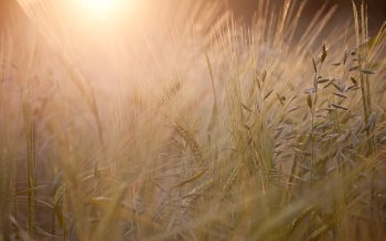 Earth - Wheat Wallpapers and Backgrounds ID : 399860