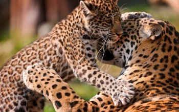 Animalia - Leopard Wallpapers and Backgrounds ID : 400085