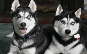 Animal - Husky Wallpapers and Backgrounds ID : 401227
