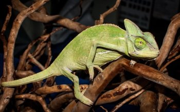 Animal - Chameleon Wallpapers and Backgrounds ID : 401365