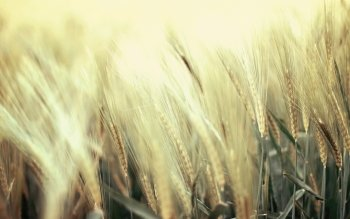 Earth - Wheat Wallpapers and Backgrounds ID : 401691