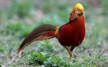 22 Golden Pheasant Hd Wallpapers Background Images
