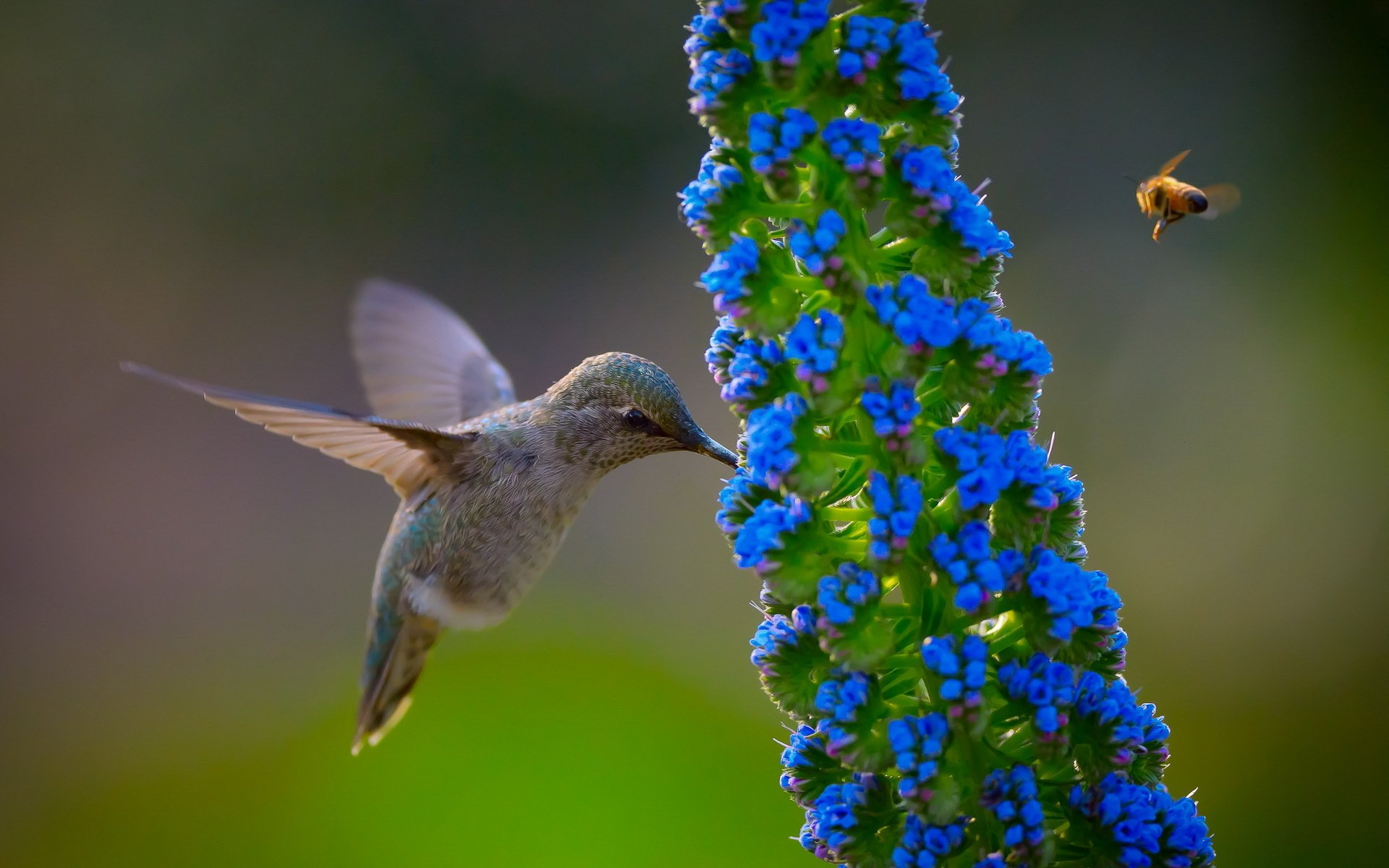 Animal - Hummingbird  Bird Wallpaper