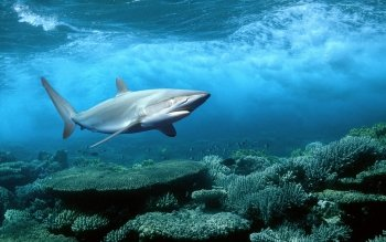 Animal - Shark Wallpapers and Backgrounds ID : 403213