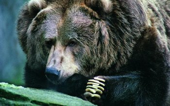 Animal - Bear Wallpapers and Backgrounds ID : 404017