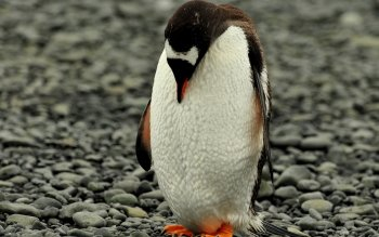 Animal - Penguin Wallpapers and Backgrounds ID : 404050