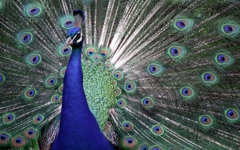 Animal - Peacock Wallpapers and Backgrounds ID : 404618