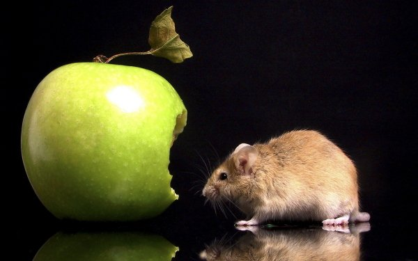 Animal - mouse Wallpapers and Backgrounds