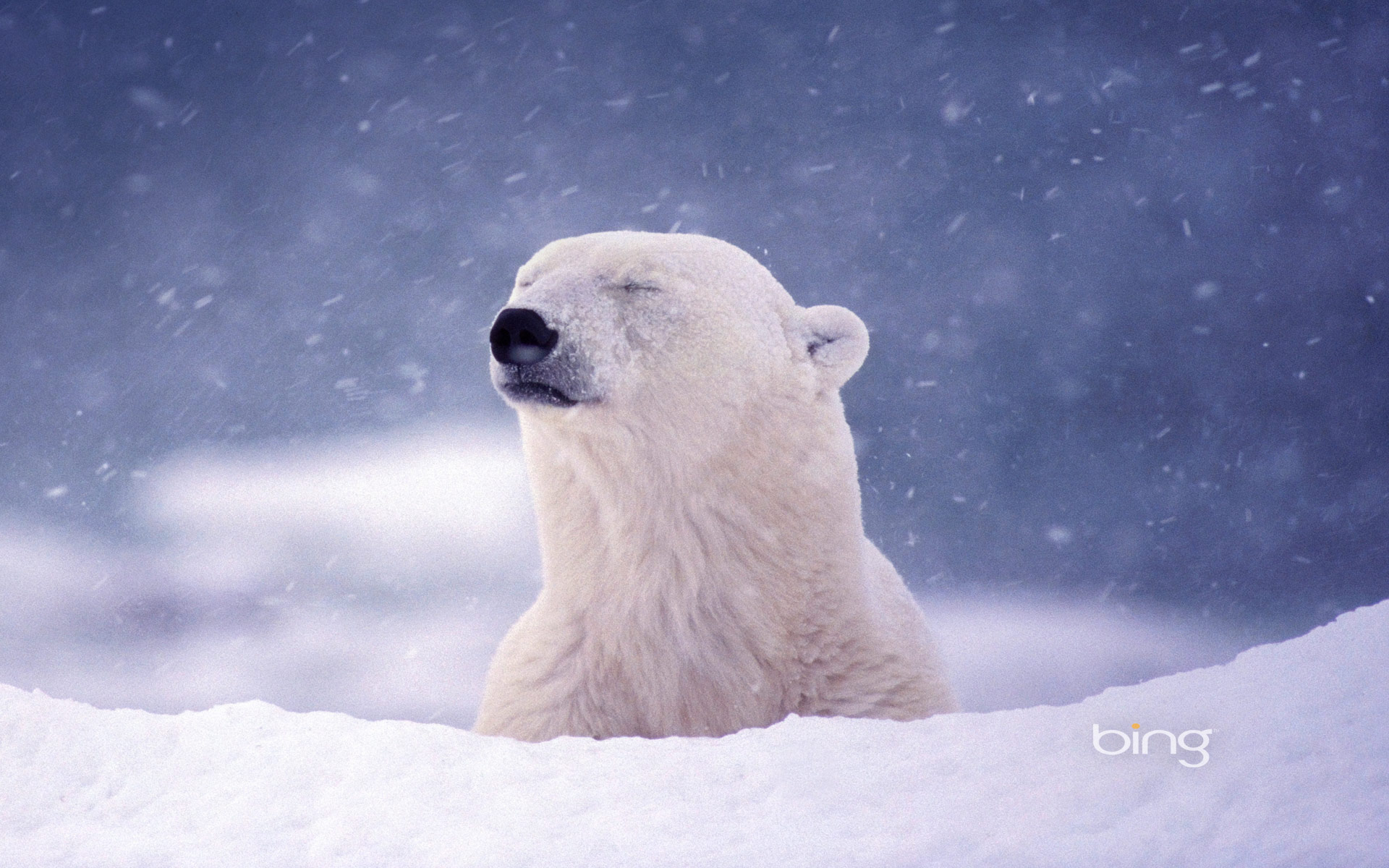 Polar Bear Full HD Wallpaper And Background Image