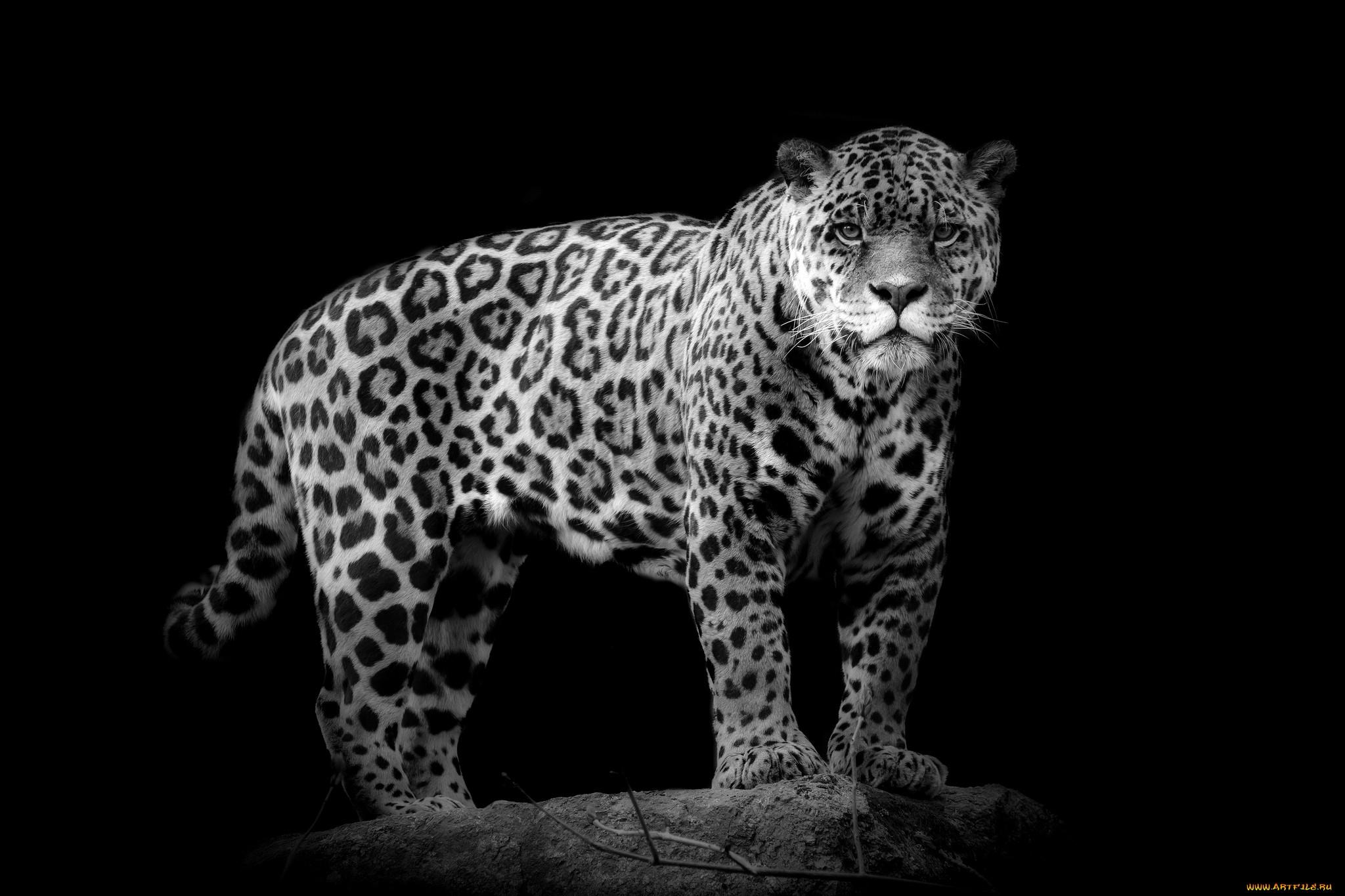 White Jaguar Animal