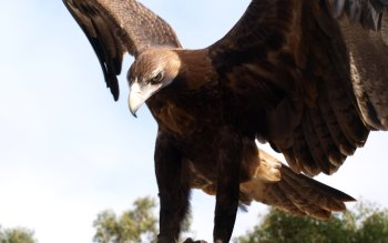 Animal - Eagle Wallpapers and Backgrounds ID : 406263