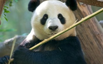 Animal - Panda Wallpapers and Backgrounds ID : 406917