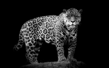 Animal - Jaguar Wallpapers and Backgrounds ID : 406933
