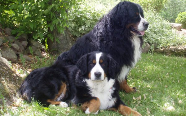 Animal Bernese Mountain Dog Dogs HD Wallpaper | Background Image