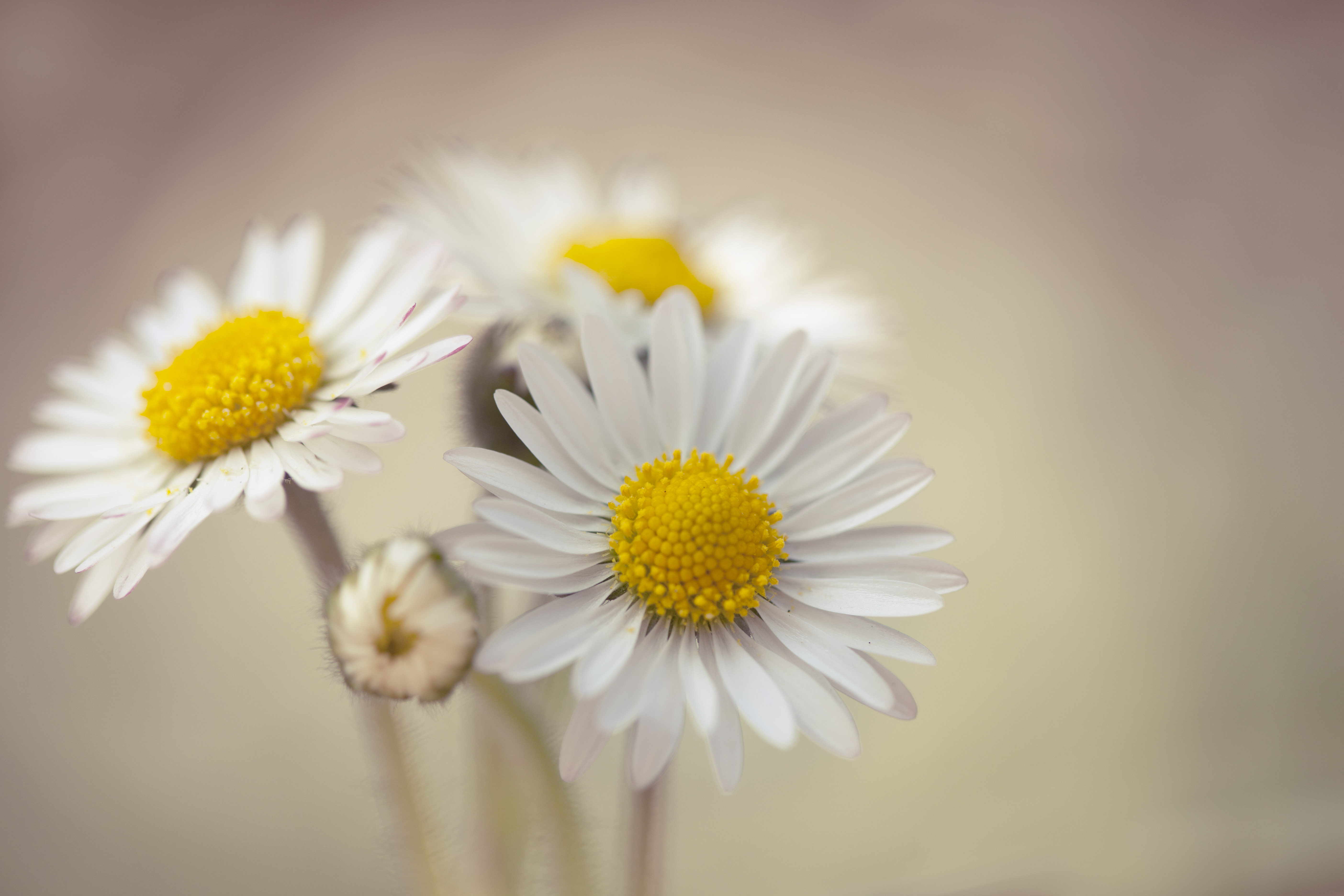 398 daisy hd wallpapers | background images - wallpaper abyss