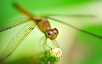 Animal - Dragonfly Wallpapers and Backgrounds ID : 407176