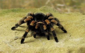 Animal - Spider Wallpapers and Backgrounds ID : 407211
