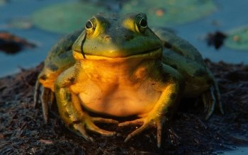 Animal - Frog Wallpapers and Backgrounds ID : 407771