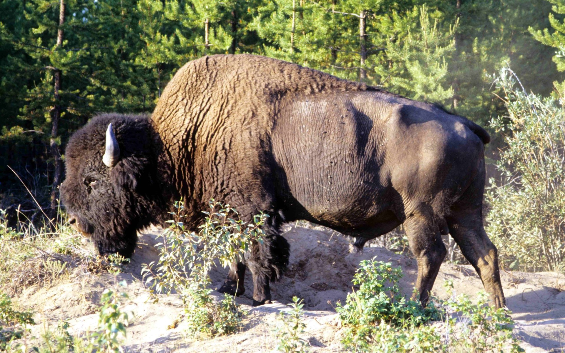 American Bison 5k Retina Ultra HD Wallpaper and Background ...