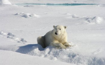 Animal - Polar Bear Wallpapers and Backgrounds ID : 408995