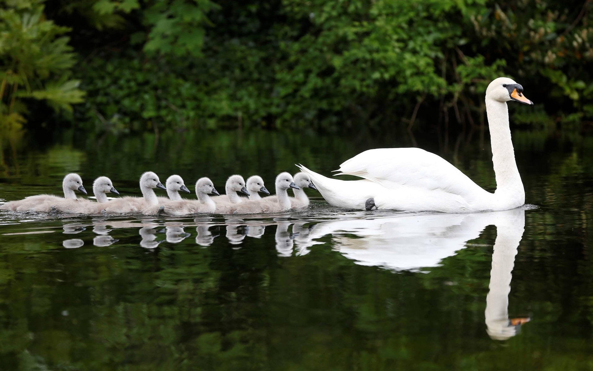 Hd Animal Wallpapers Hd Music Wallpapers: Mute Swan Full HD Wallpaper And Background Image