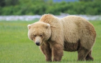 Animal - Bear Wallpapers and Backgrounds ID : 409155