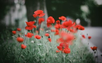 Earth - Poppy Wallpapers and Backgrounds ID : 409403