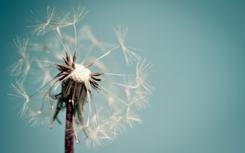 Earth - Dandelion Wallpapers and Backgrounds ID : 409428