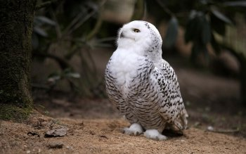 Animalia - Snowy Owl Wallpapers and Backgrounds ID : 409520