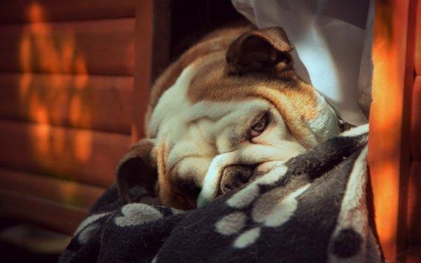 Animal Bulldog Dogs HD Wallpaper   Background Image