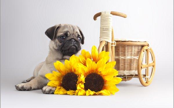 Animal Pug Dogs HD Wallpaper   Background Image