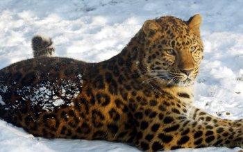 Animalia - Jaguar Wallpapers and Backgrounds ID : 410658