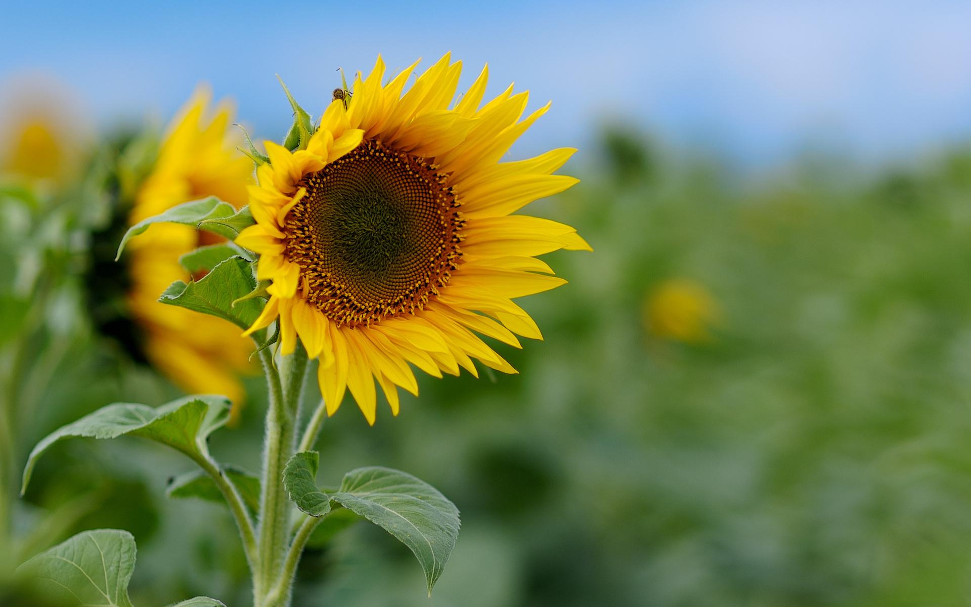 Sunflower HD Wallpaper | Background Image | 1920x1200 | ID ...