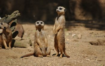 Animalia - Meerkat Wallpapers and Backgrounds ID : 411533