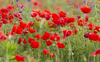 Earth - Poppy Wallpapers and Backgrounds ID : 412268