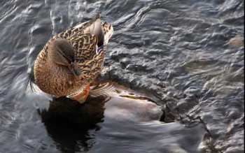 Animal - Duck Wallpapers and Backgrounds ID : 412295