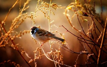 Djur - Sparrow Wallpapers and Backgrounds ID : 412373