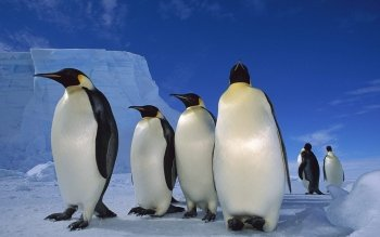 Animalia - Emperor Penguin Wallpapers and Backgrounds ID : 412569