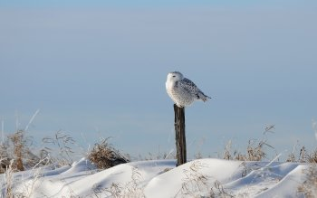 Animalia - Snowy Owl Wallpapers and Backgrounds ID : 412590