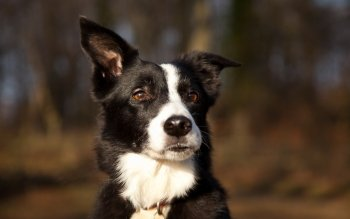 Animal - Border Collie Wallpapers and Backgrounds ID : 412823